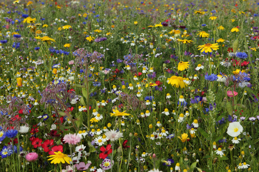 Wildblumenwiese © Thoms Quack, qphotomania - Fotolia